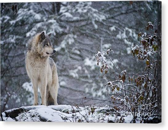 Timber Wolf Pictures 189 Canvas Print