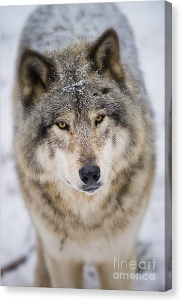 Timber Wolf Pictures 254 Canvas Print