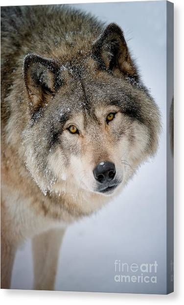 Timber Wolf Pictures 255 Canvas Print