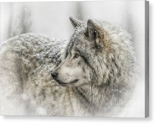Timber Wolf Pictures 280 Canvas Print