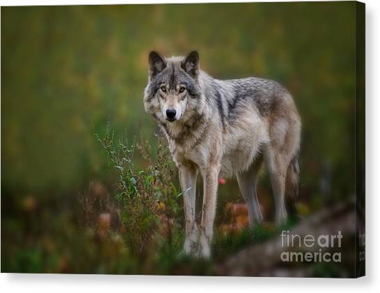 Timber Wolf Pictures 401 Canvas Print