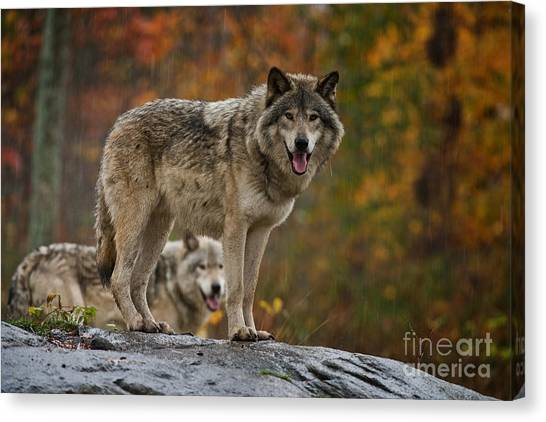 Timber Wolf Pictures 410 Canvas Print