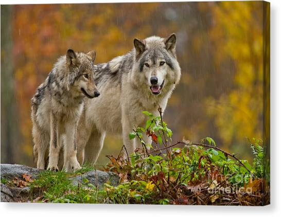Timber Wolf Pictures 411 Canvas Print