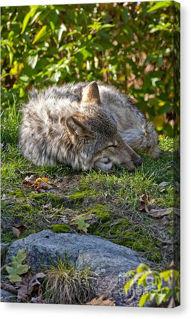 Canvas Print - Timber Wolf Pictures 42 by World Wildlife Photography