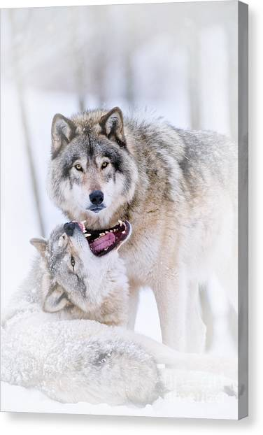Timber Wolf Pictures 56 Canvas Print