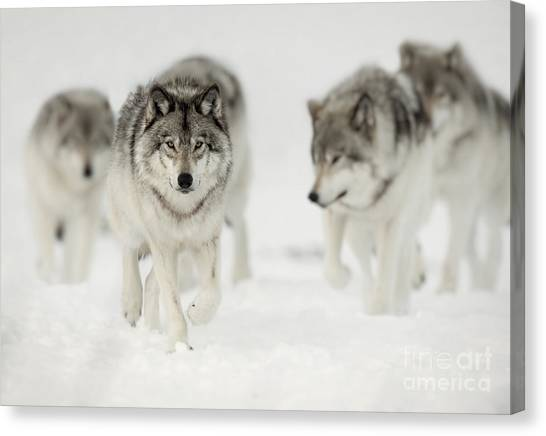 Timber Wolf Pictures 65 Canvas Print