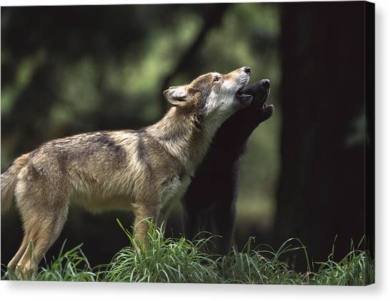 Portland Timbers Canvas Print - Timber Wolf Pups Howling by Gerry Ellis