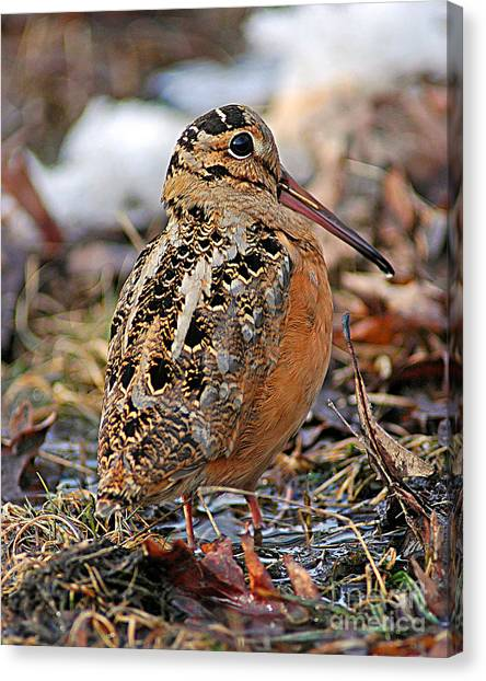 Woodcock Canvas Print - Timberdoodle The American Woodcock by Timothy Flanigan