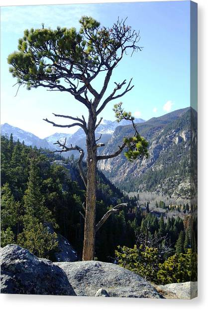 Timberline Tree Canvas Print by Stephen Schaps