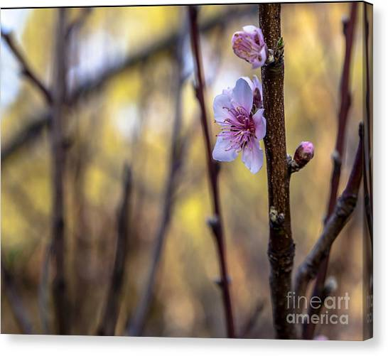 Time To Bloom Canvas Print by Serene Maisey