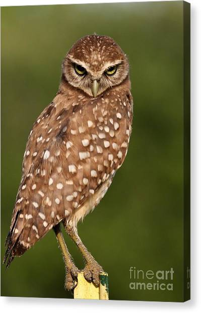 Tiny Burrowing Owl Canvas Print