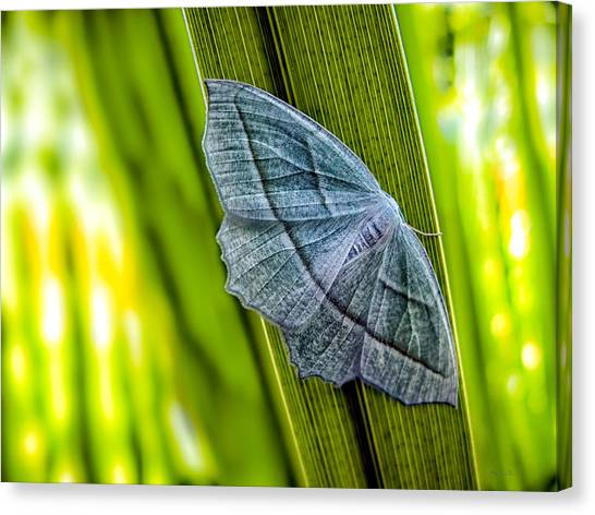 Moth Canvas Print - Tiny Moth On A Blade Of Grass by Bob Orsillo