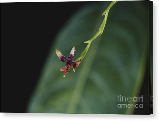 Monteverde Canvas Print - Tiny Orchid In Costa Rica by Gregory G. Dimijian, M.D.