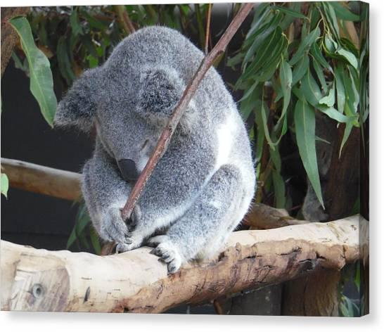 Tired Koala Bear With Stick Canvas Print