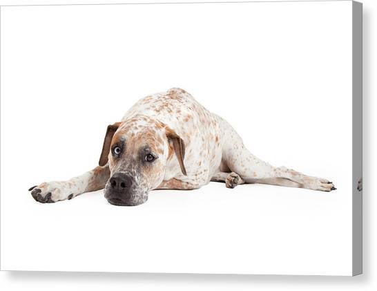 Brindle Canvas Print - Tired Pointer Crossbreed Laying by Susan Schmitz