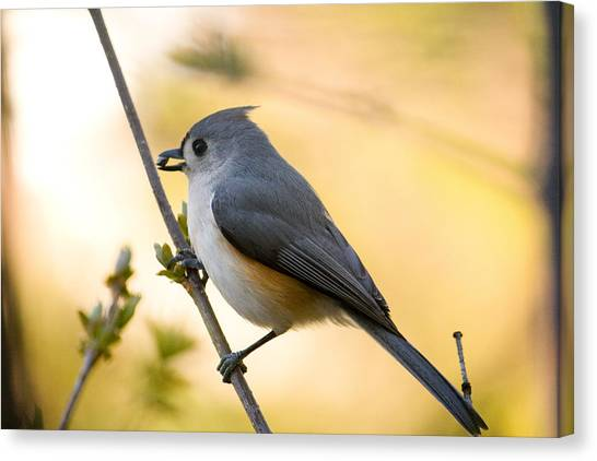 Titmice Canvas Print - Titmouse In Gold by Shane Holsclaw