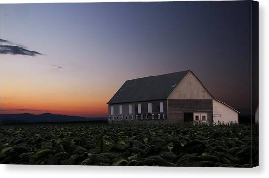 Tobacco Field Canvas Print