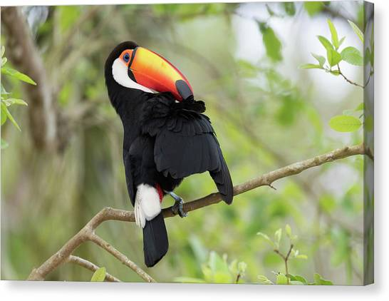 Iguazu Falls Canvas Print - Toco Toucan Preening In A Tree by Dr P. Marazzi/science Photo Library