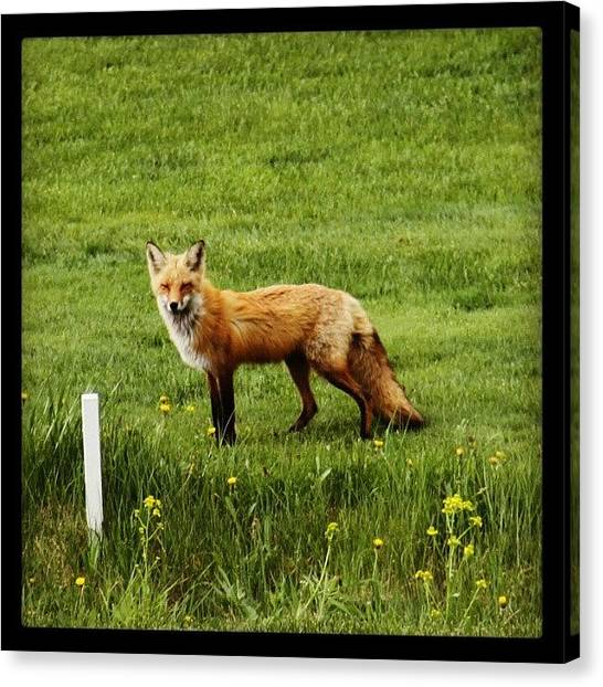 Foxes Canvas Print - Today's Golfer Without by Arminda Mota