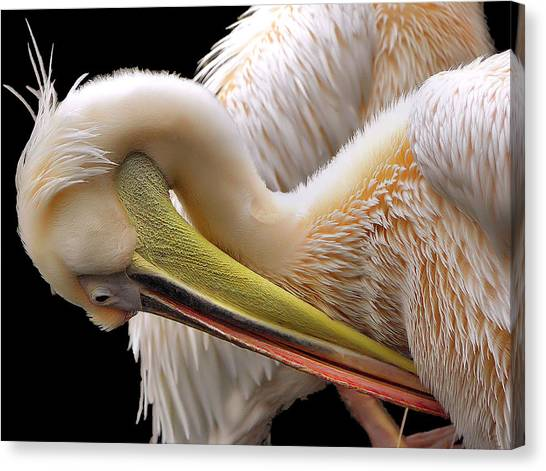 Pelicans Canvas Print - Toileting... by Thierry Dufour
