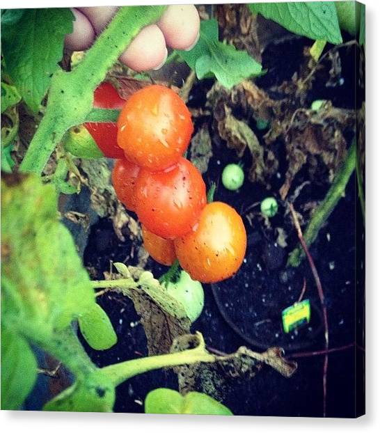 Tomato Canvas Print - #tomatoes Yum #breakfast by Melissa Wyatt