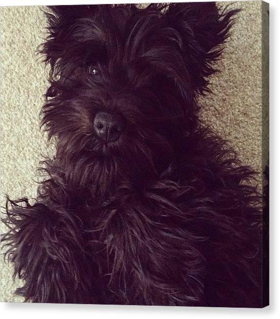 Pepsi Canvas Print - Too #cute #pepsi #dog #puppy #ahh by Lauren Andrews