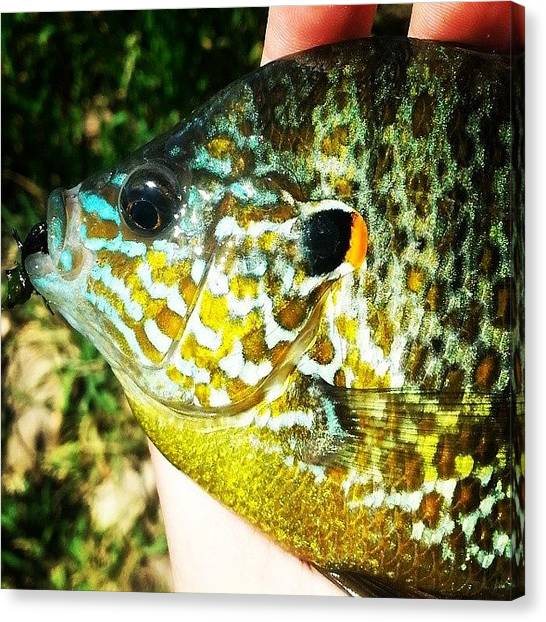 Fly Fishing Canvas Print - Bluegill Fly Fishing by Brittany  Springer