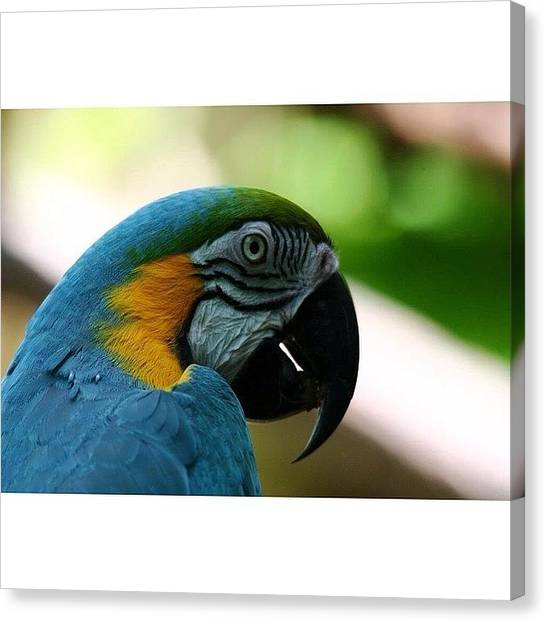 Macaws Canvas Print - Took Too Long But Here Are A Few by Joseph Mercurio