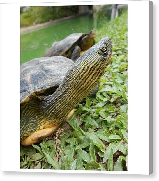 Tortoises Canvas Print - Tortoise Farm! by Nadiyah Ishak