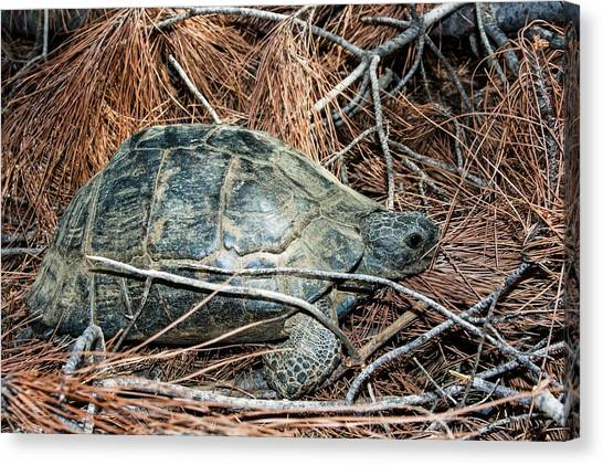 Tortoises Canvas Print - Tortoise In A Forest by Photostock-israel