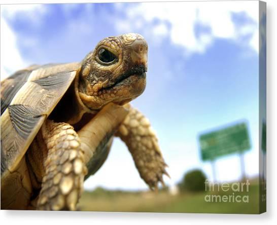 Tortoise On Roadside Canvas Print