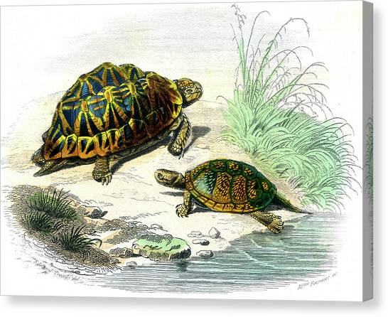 Tortoises Canvas Print - Tortoises by Collection Abecasis/science Photo Library