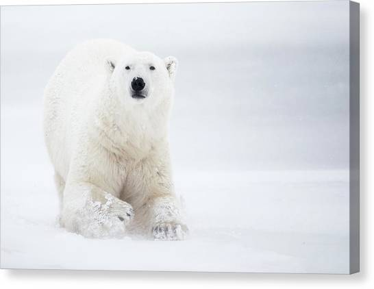 Polar Bears Canvas Print - Total White by Alessandro Catta