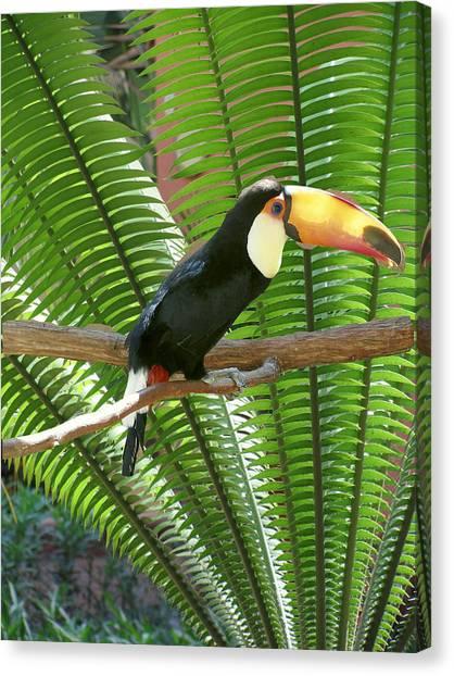 Toucan Canvas Print