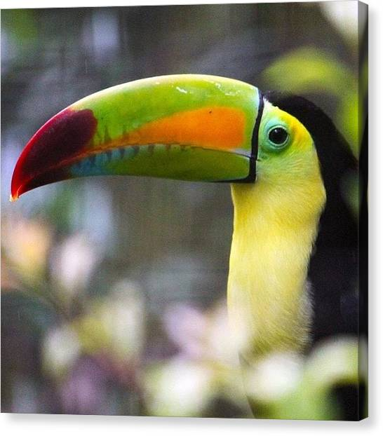 Tropical Birds Canvas Print - #toucan #zoo #animals #birds by Craig Price