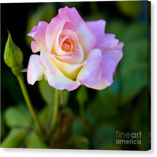 Rose-touch Me Softly Canvas Print