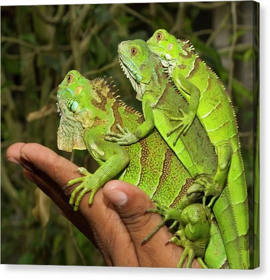 Belize Canvas Print - Tourist With Juvenile Green Iguanas by William Sutton