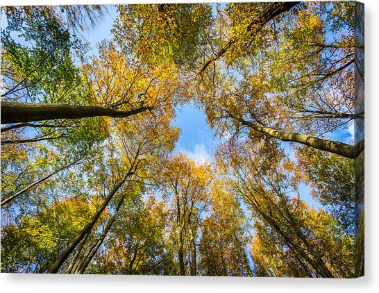 Canvas Print featuring the photograph Towering Trees. by Gary Gillette