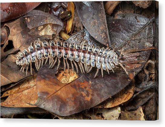 Millipedes Canvas Print - Tractor Millipede by Alex Hyde