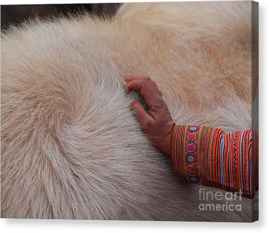 Trading Cattle Canvas Print