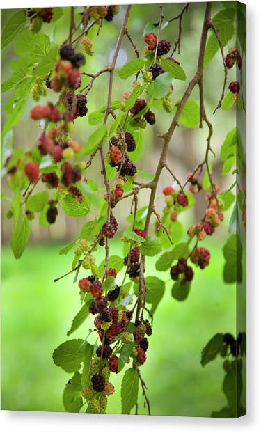 Oneida Canvas Print - Traditional Foods Such As Berries by Angel Wynn