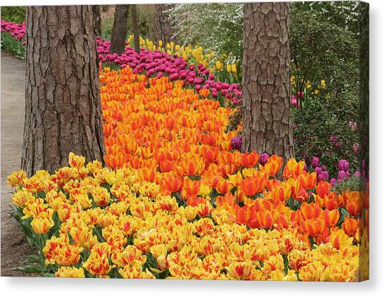 Trail Of Tulips Canvas Print