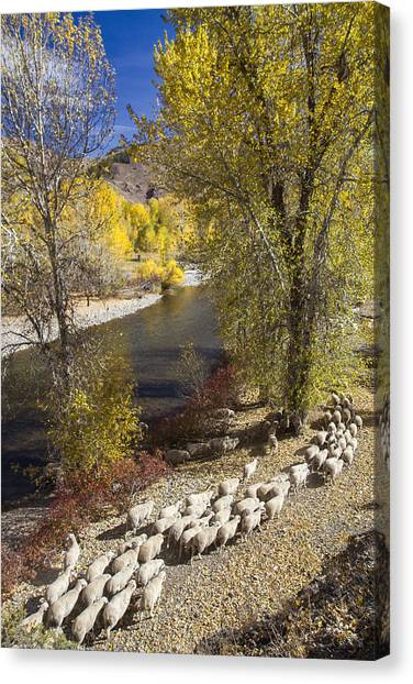 Trailing Of The Shep Canvas Print