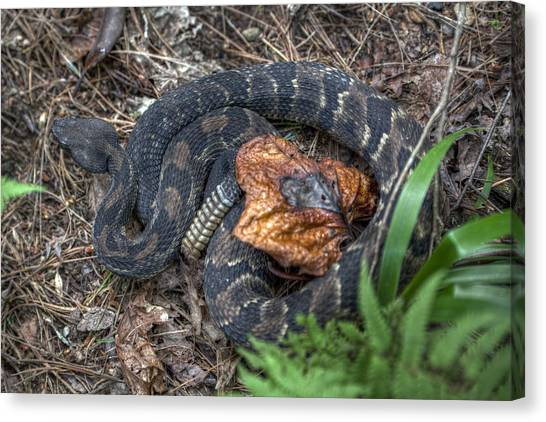 Timber Rattlesnakes Canvas Print - Trailside Nemesis by Stephen Gray