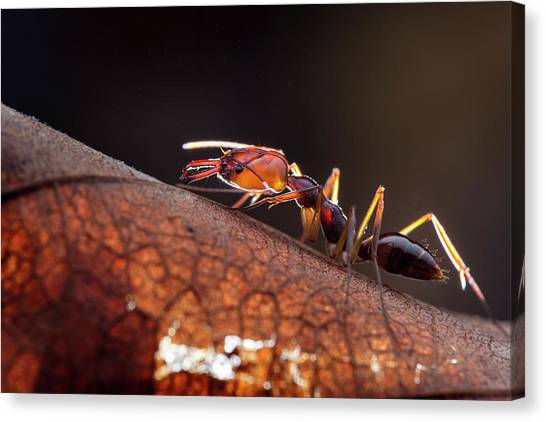 Ants Canvas Print - Trapjaw Ant by Melvyn Yeo