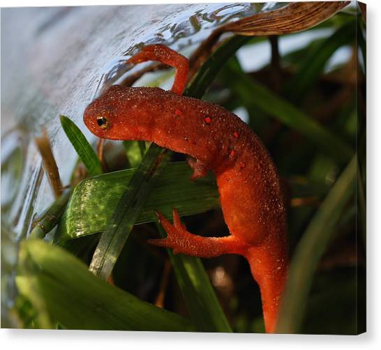 Newts Canvas Print - Travels Of A Newt by Susan Capuano