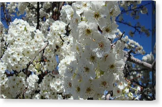 Tree Blossom  Canvas Print by Iam Wayne