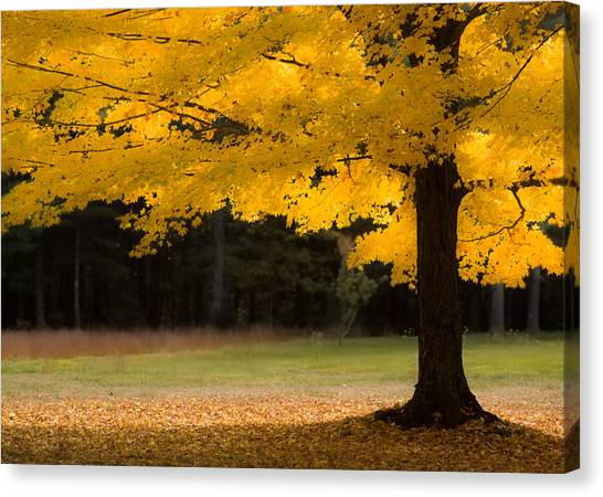 Tree Canopy Glowing In The Morning Sun Canvas Print