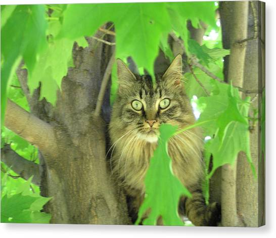 Main Coons Canvas Print - Tree Climber by Marisa Horn