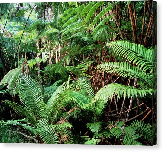 Tropical Rainforests Canvas Print - Tree Ferns In Tropical Rainforest by Simon Fraser/science Photo Library